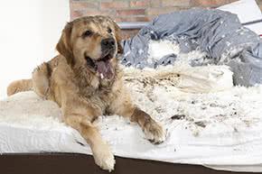 Hundehalterhaftpflicht - Hund vor zerstörten Möbeln